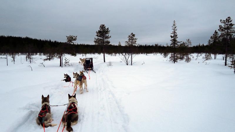 huskies_laponie