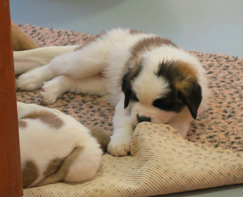 barryland_chiots_puppies